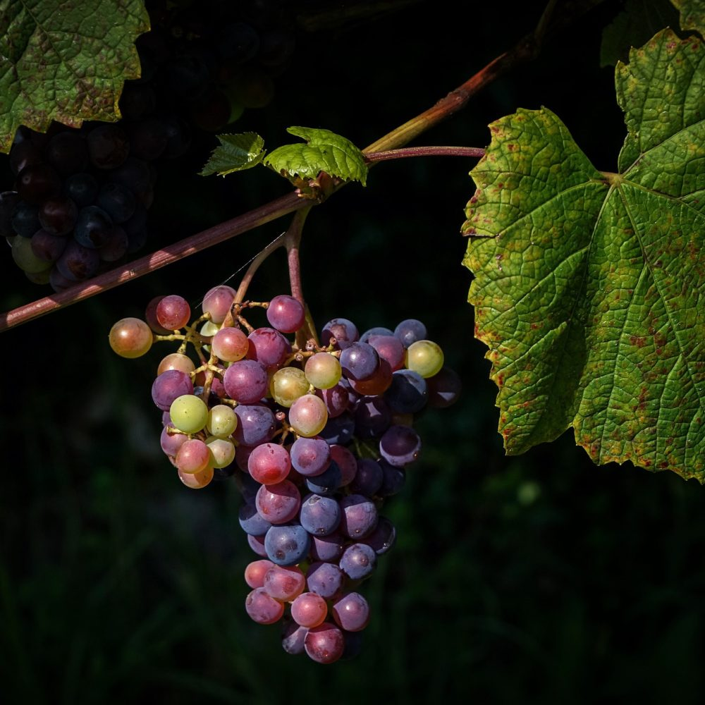 grapes-4429520_1920